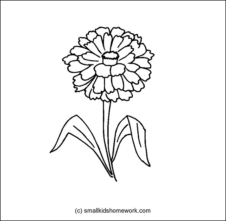 Zinnia Line Drawing : How to draw zinnia flower