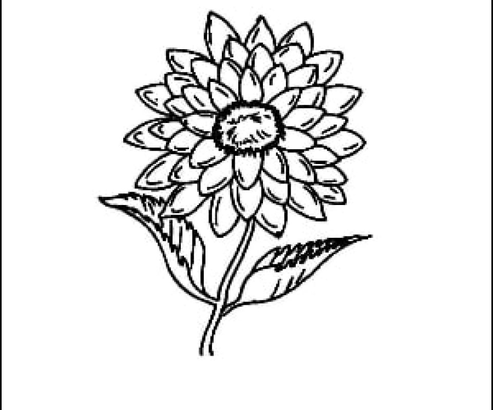 Dahlia Outline Picture