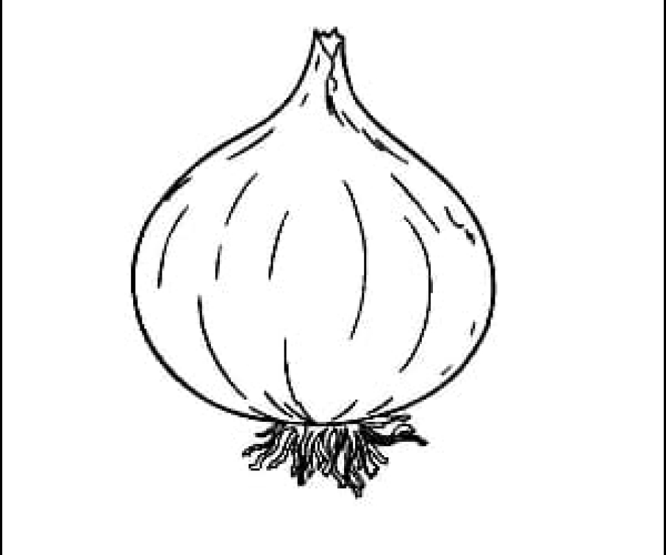 Onion Outline Picture